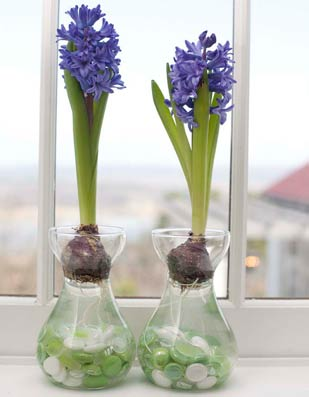 growing hyacinths in forcing jars