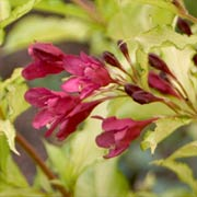 Proven Winners Weigela Ghost